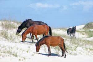 Corolla Wild Horses at the Inn at Corolla in Corolla North Carolina Outer Banks.